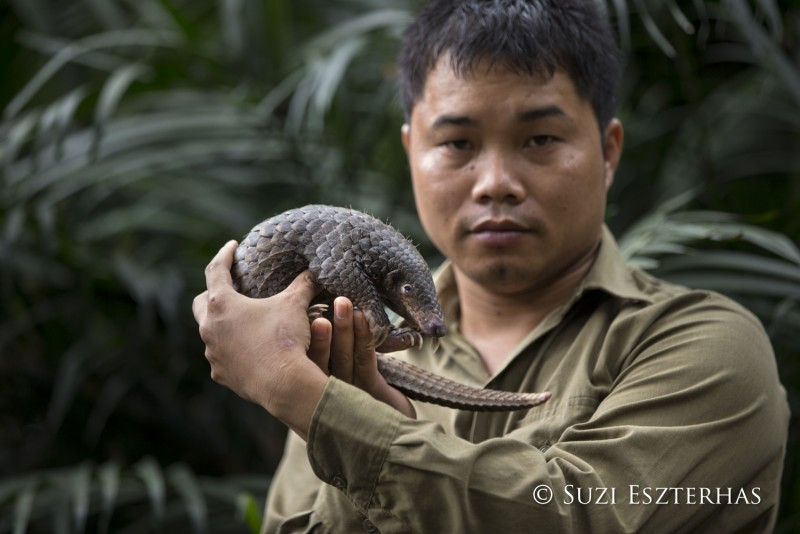 Sunda pangolin Manis javanica Thai Van Nguyen, Executive Director of Save Vietnam's Wildlife, holding three-month-old baby that was rescued and is in rehabilitation Carnivore and Pangolin Conservation Program, Cuc Phuong National Park, Vietnam *Captive - rescued from poachers *Model release available